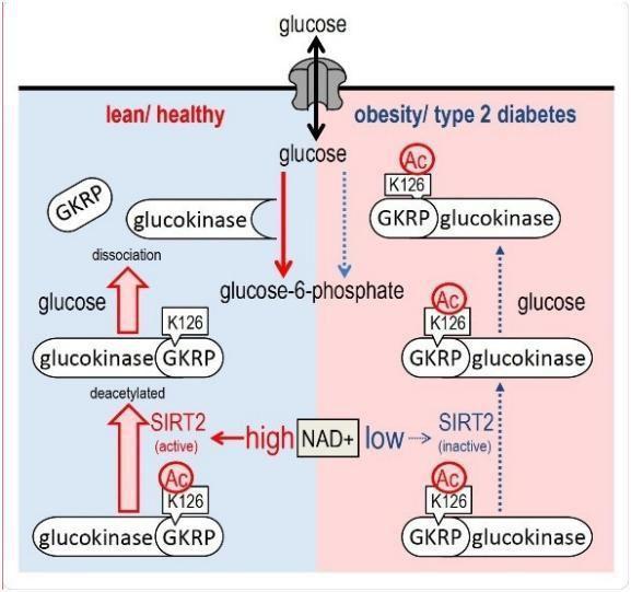 听说NMN有助于糖尿病?