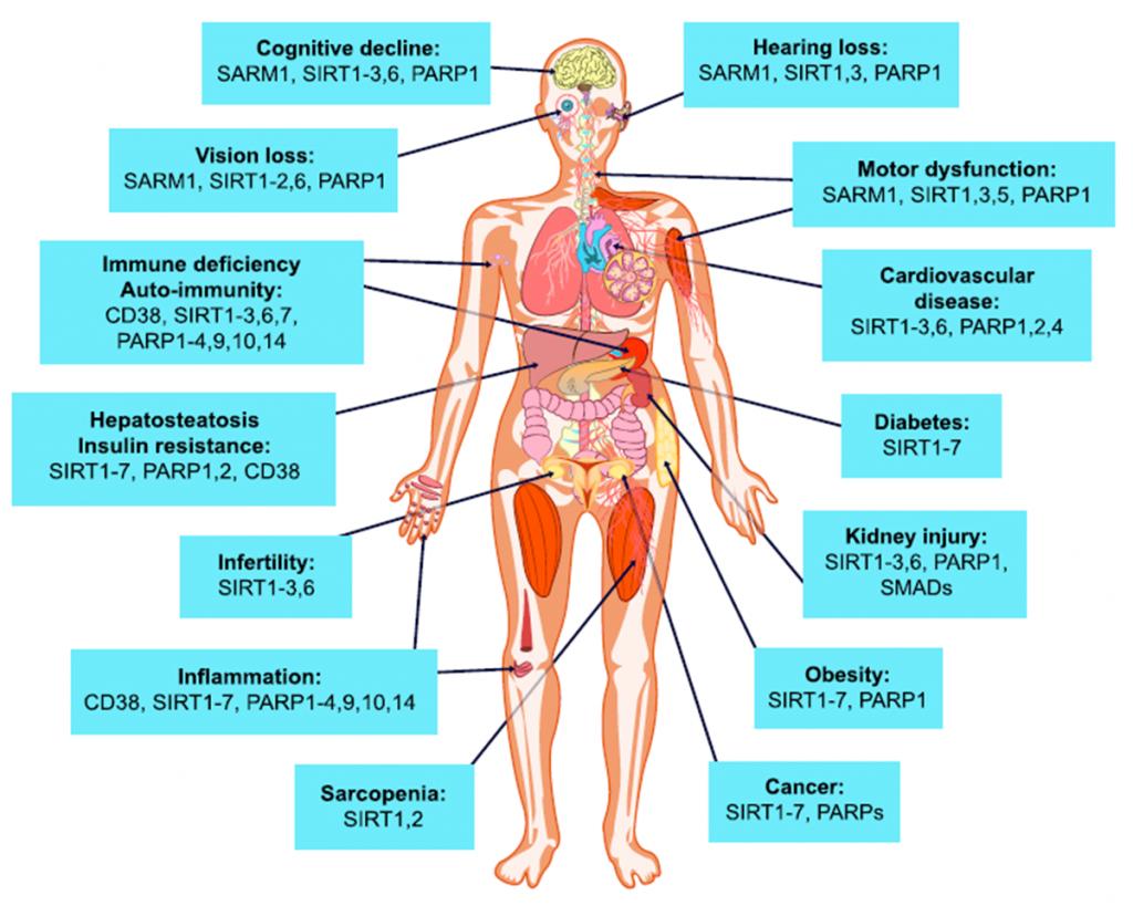 NAD+对人体健康的潜在影响